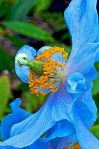 mac albastru- floarea nationala a Bhutanului
