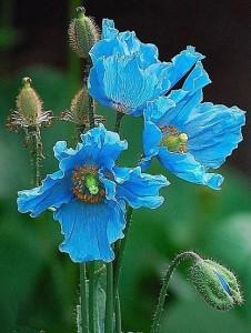 bhutan mac albastru- floare nationala a Bhutanului
