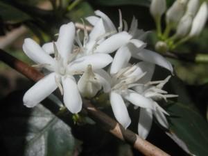 floarea de cafea
