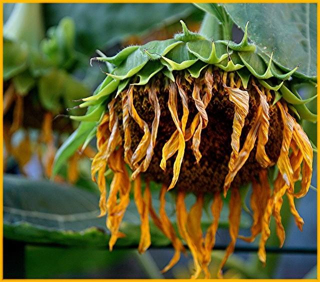 floarea soarelui imbatranita