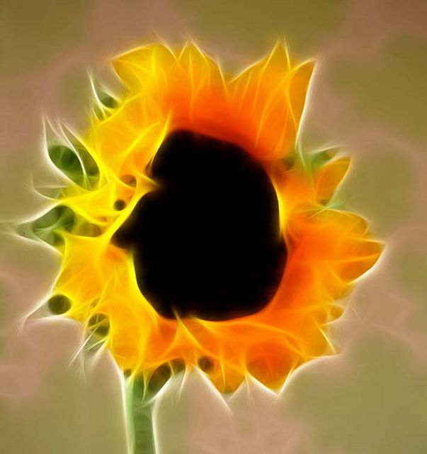 floarea soarelui invapaiata