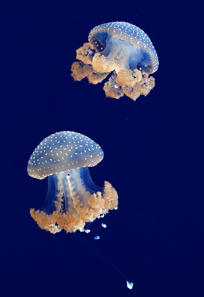 albastre meduze
