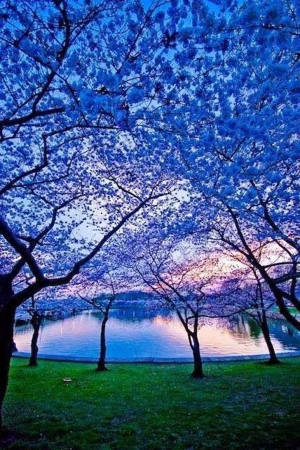 albastru copacilor