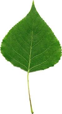 frunza de plop