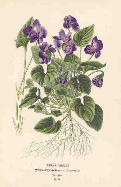 frunze de violete de parma