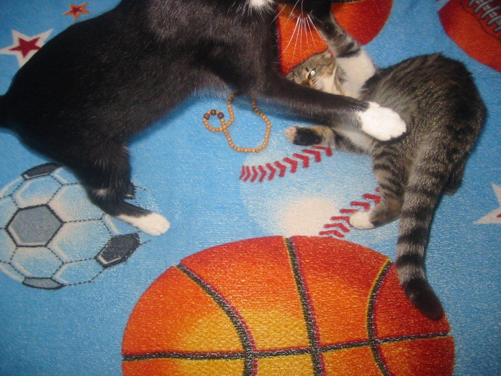 pisici care se bat