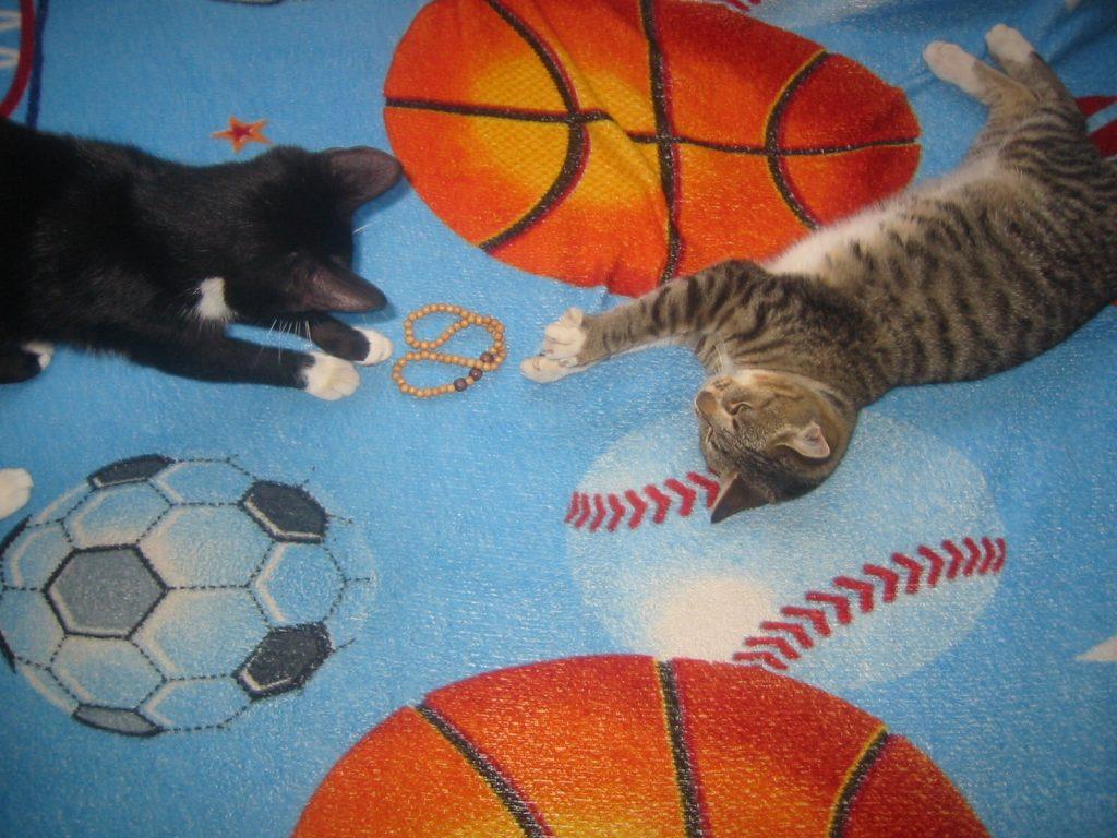 pisici frumoase jucandu-se