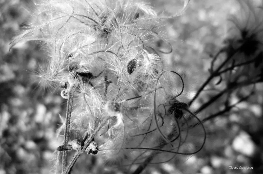 Seeds(clematis vitalba) - descopera targovistea cu mine