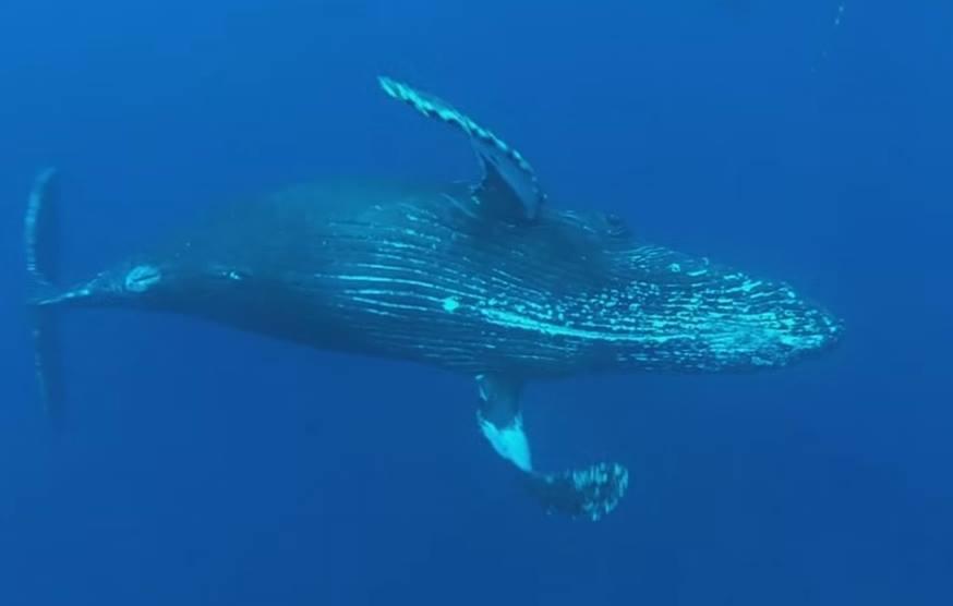 balena in apa