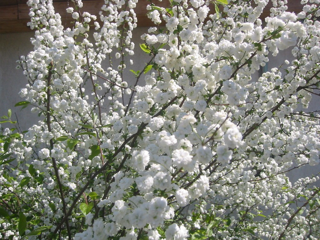 flori albe de primavara -1024x768