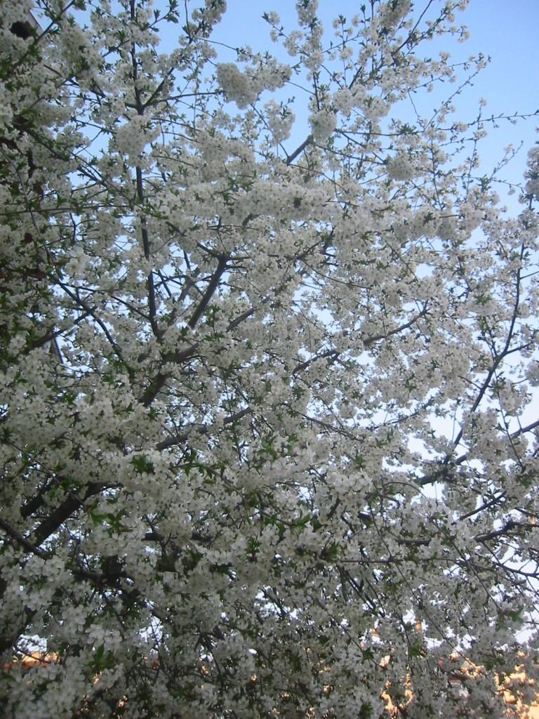 copac cu flori albe