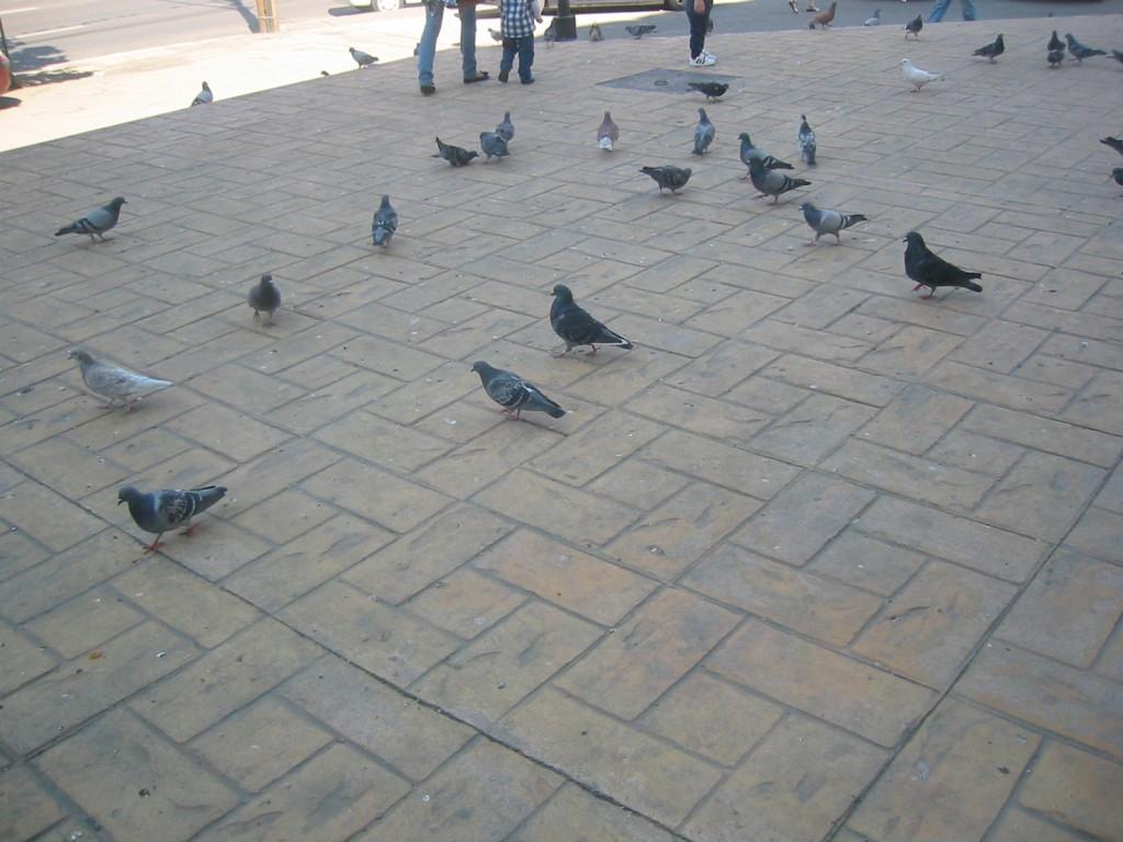 porumbei-centru-ploiesti-1024x768