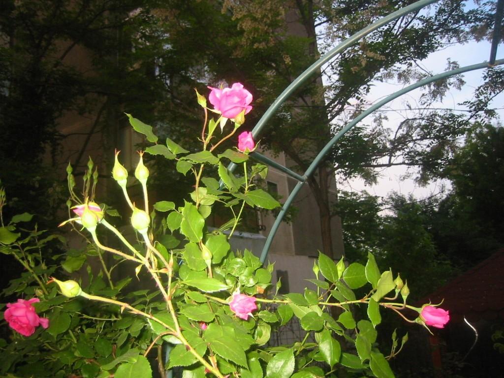 trandafir-roz-1024x768