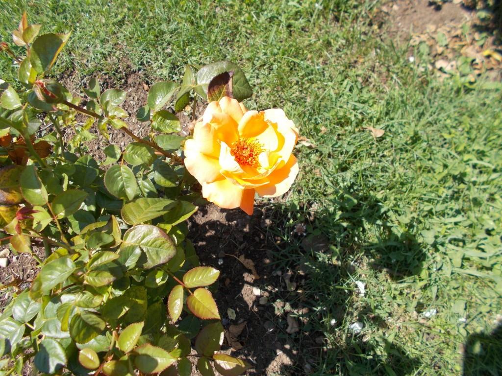 trandafir-galben-1024x768