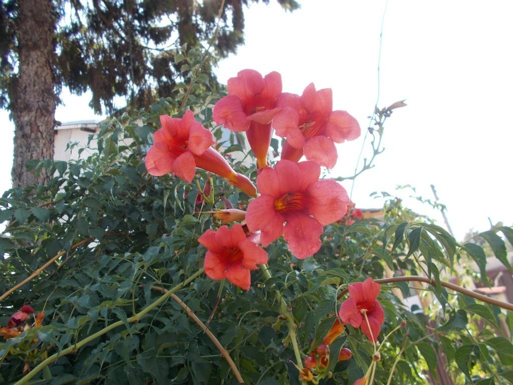 luleaua-turcului floare rosie -1024x768