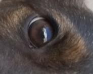 ochi de caine