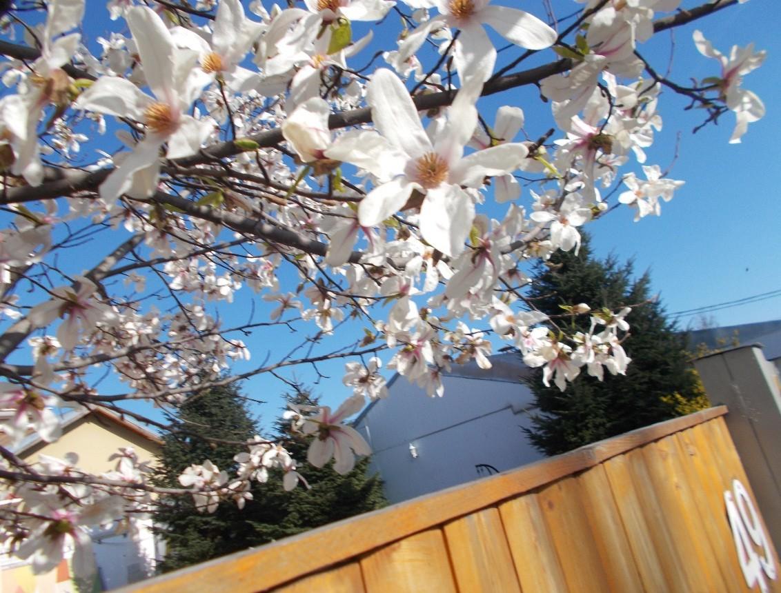magnolie alba