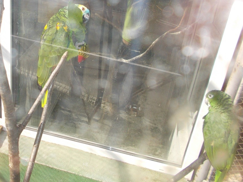 papagal verde