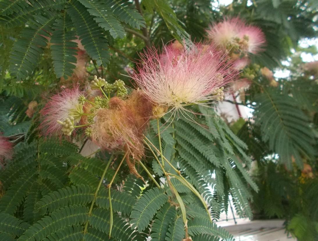 copac cu flori deosebite