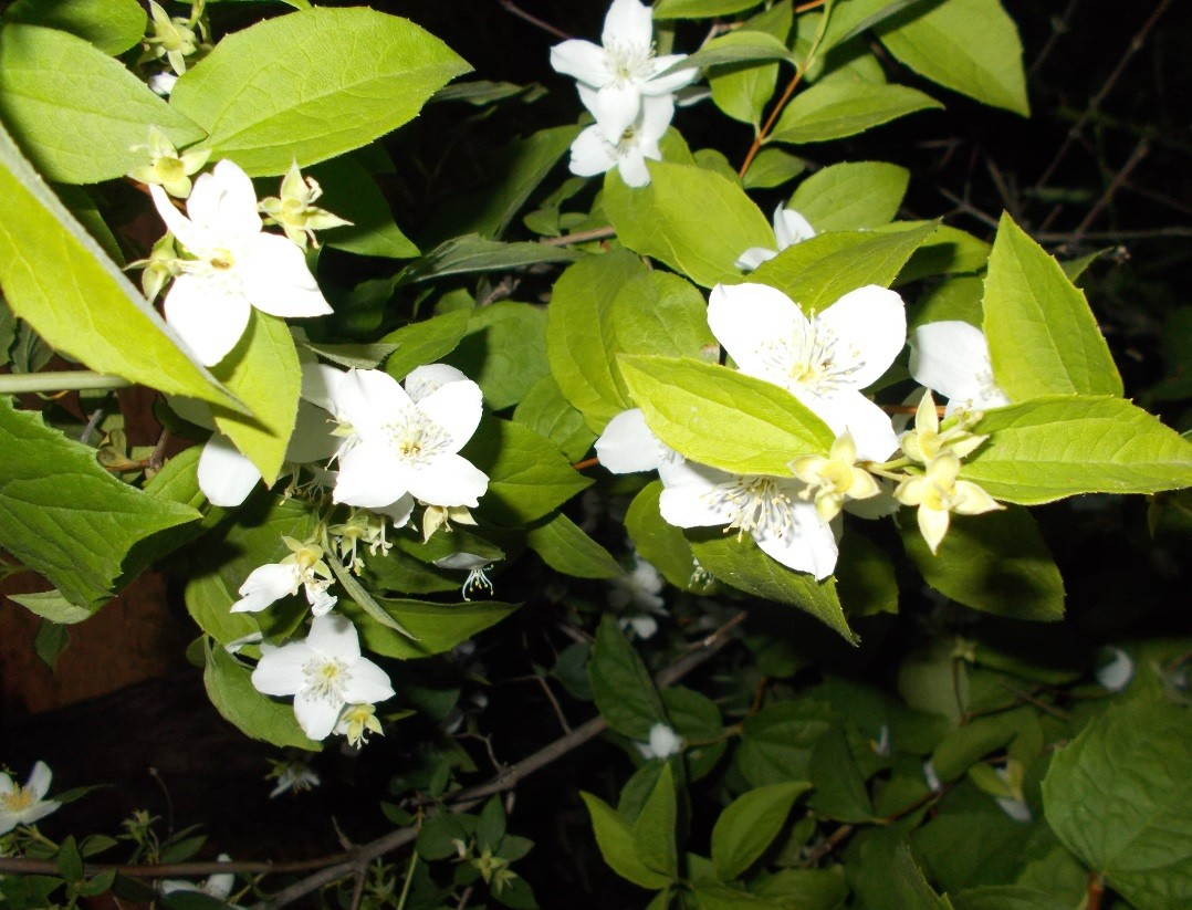 iasomie flori