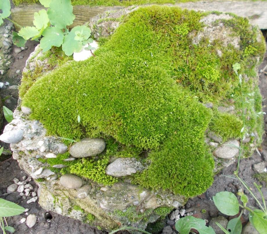 muschi pe piatra