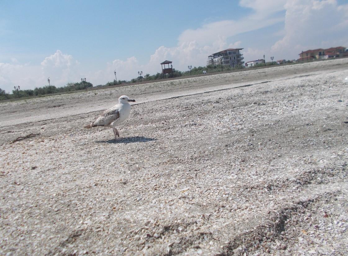 pescarus pe plaja