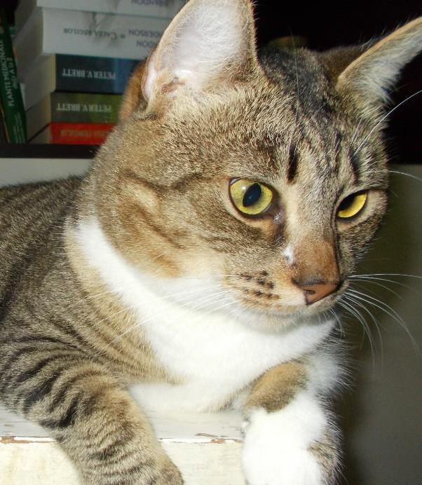 pisica tigrata frumoasa