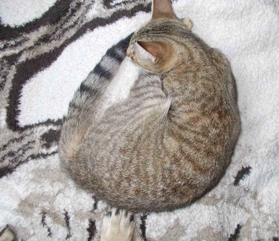pisicuta tigrata