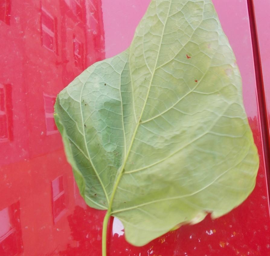 catalpa-copac-frunza