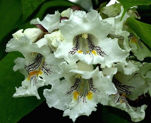 catalpa-floare