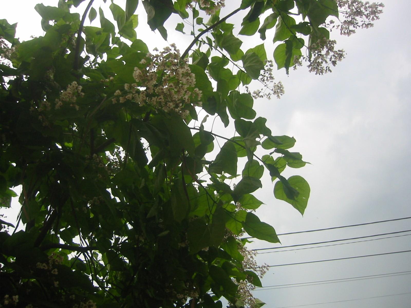 catalpa-flori