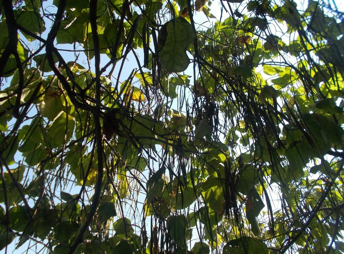 catalpa-pastai-lungi-copac