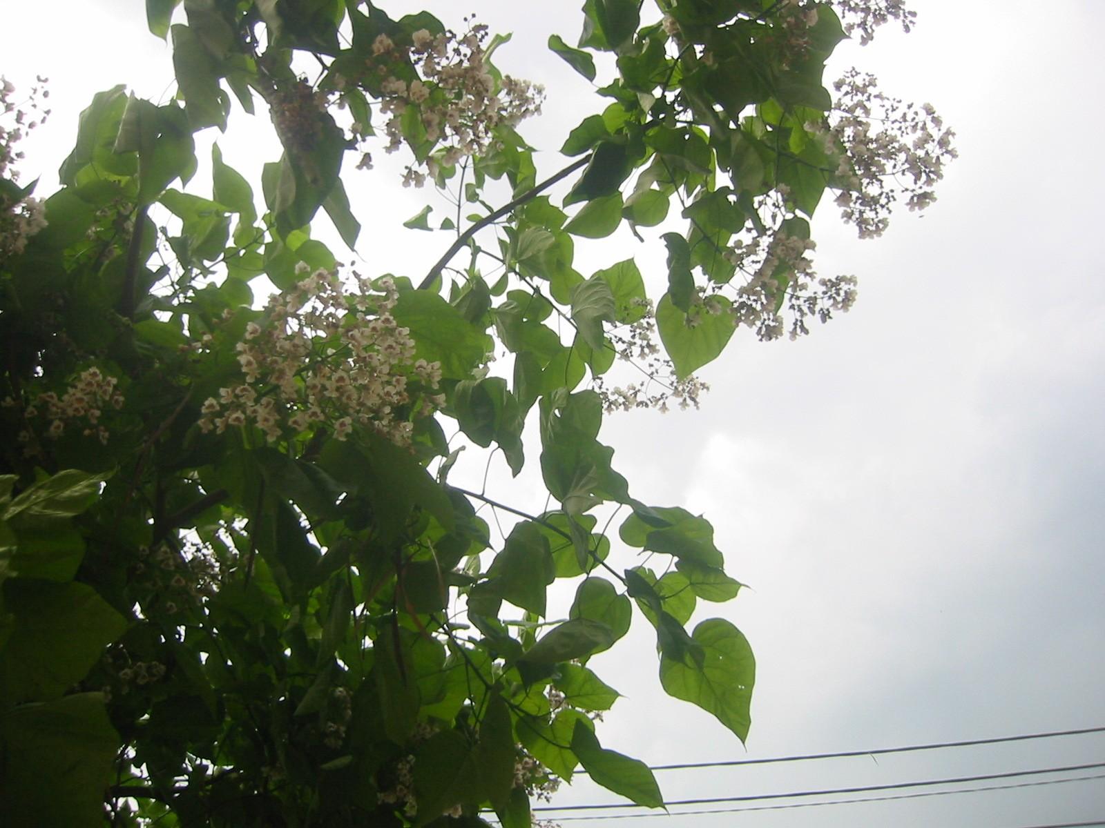 flori-catapla-albe