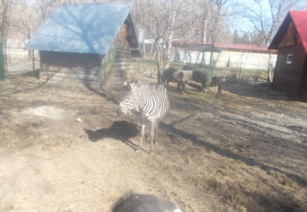 zebra si ponei