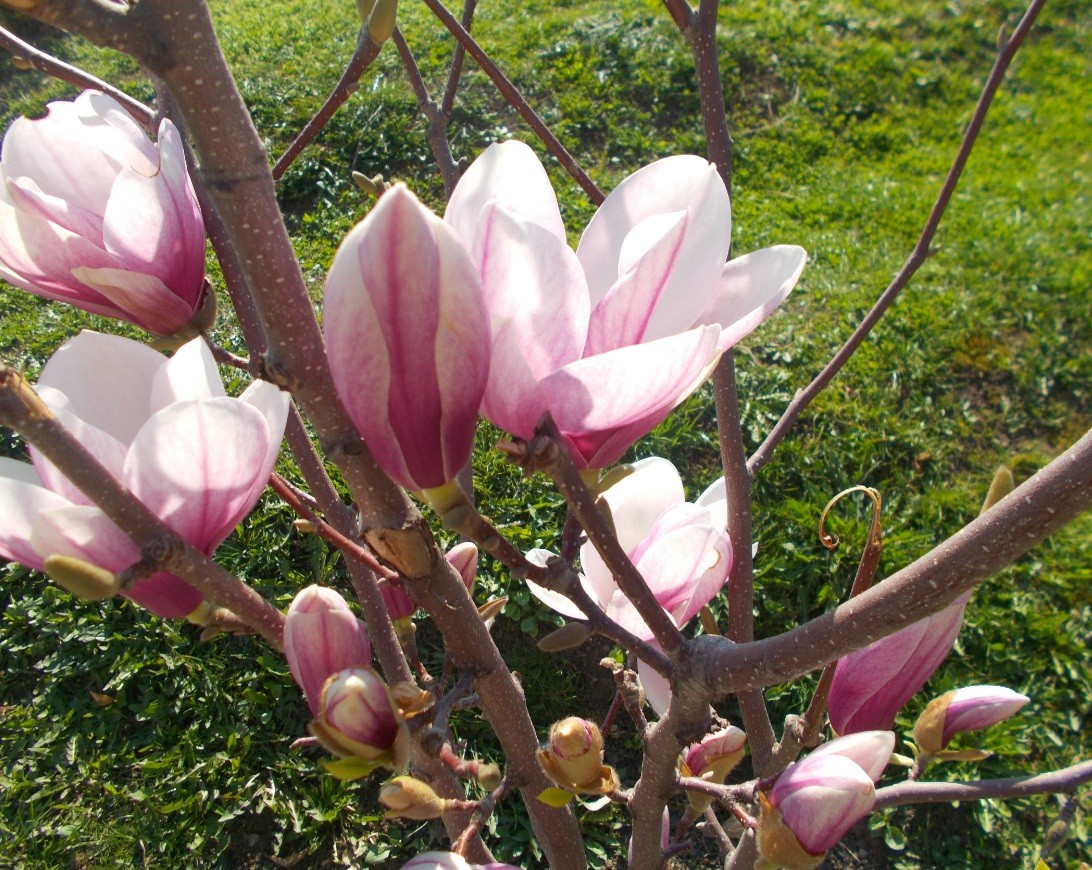 floare de magnolie