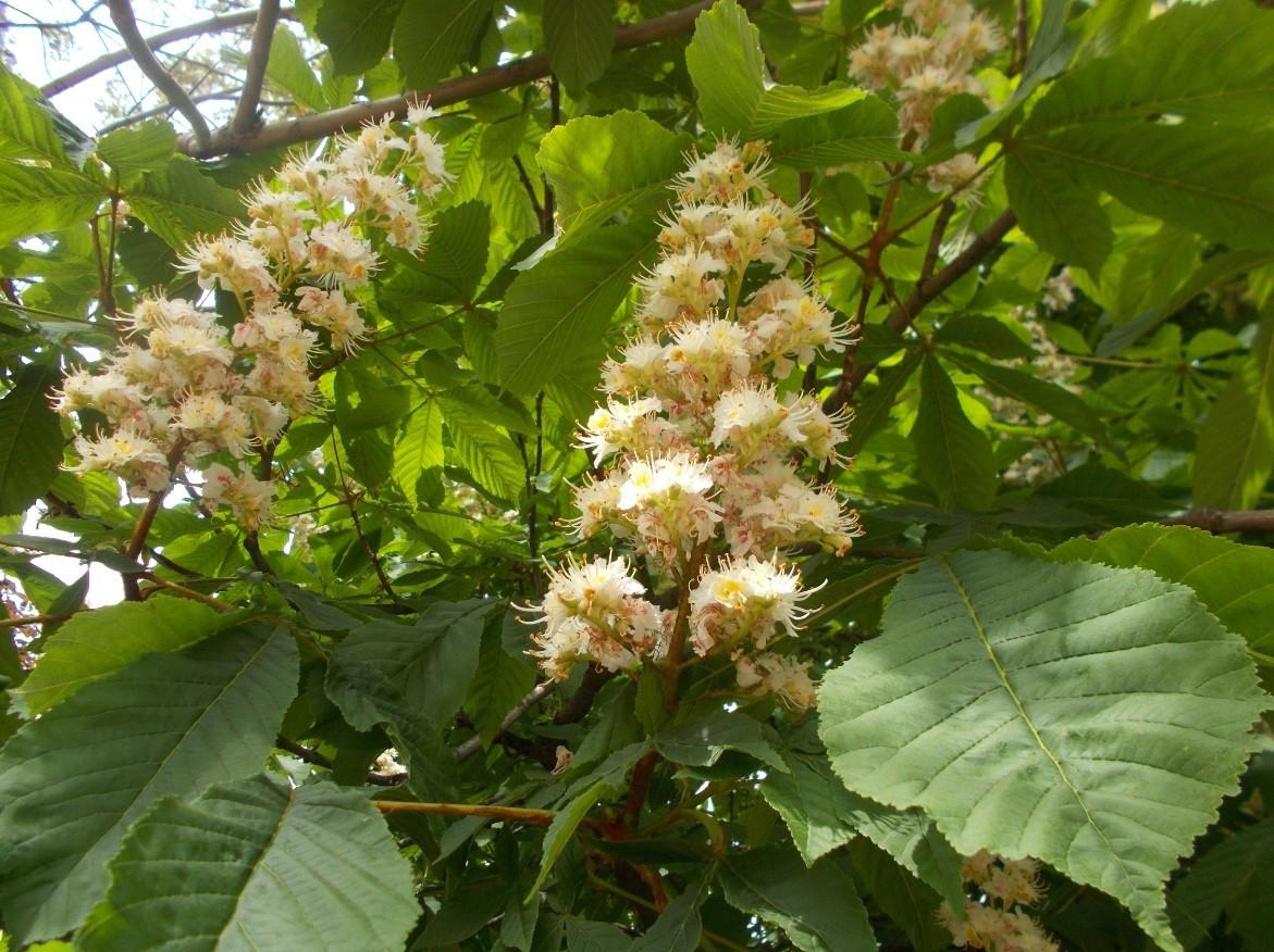 floare castan primavara