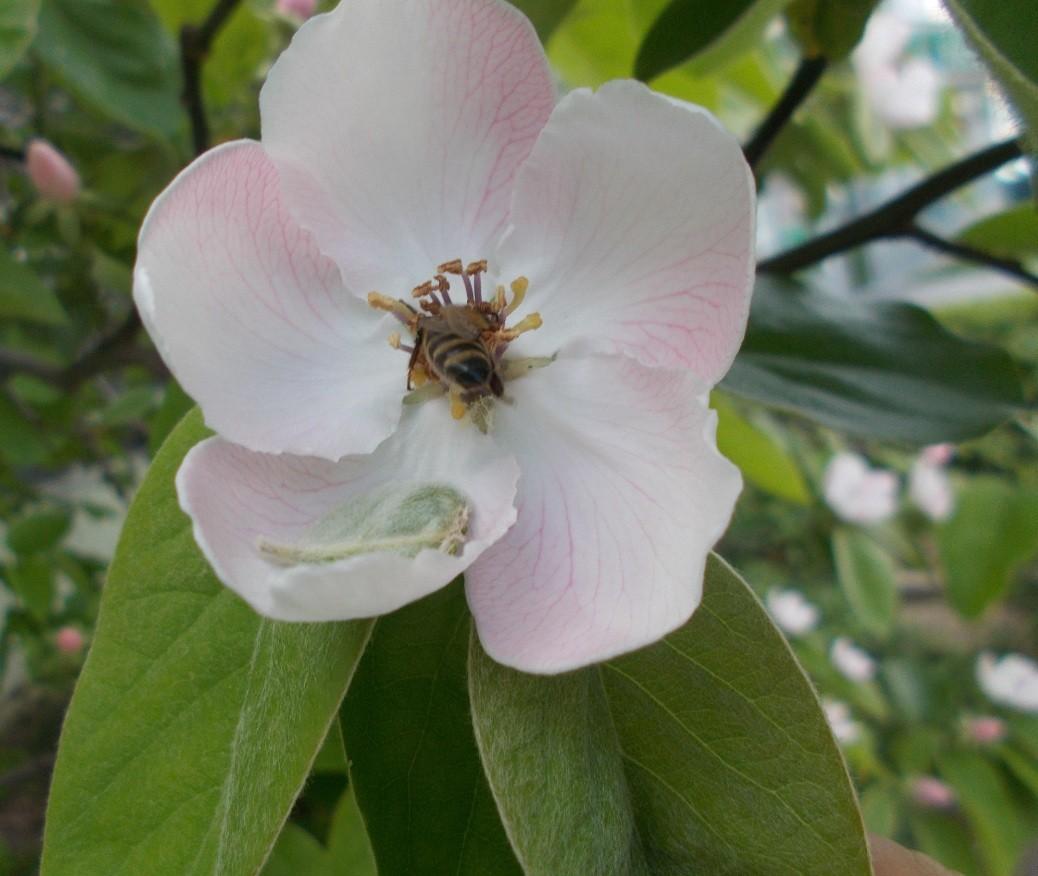 floare gutui 1 primavara
