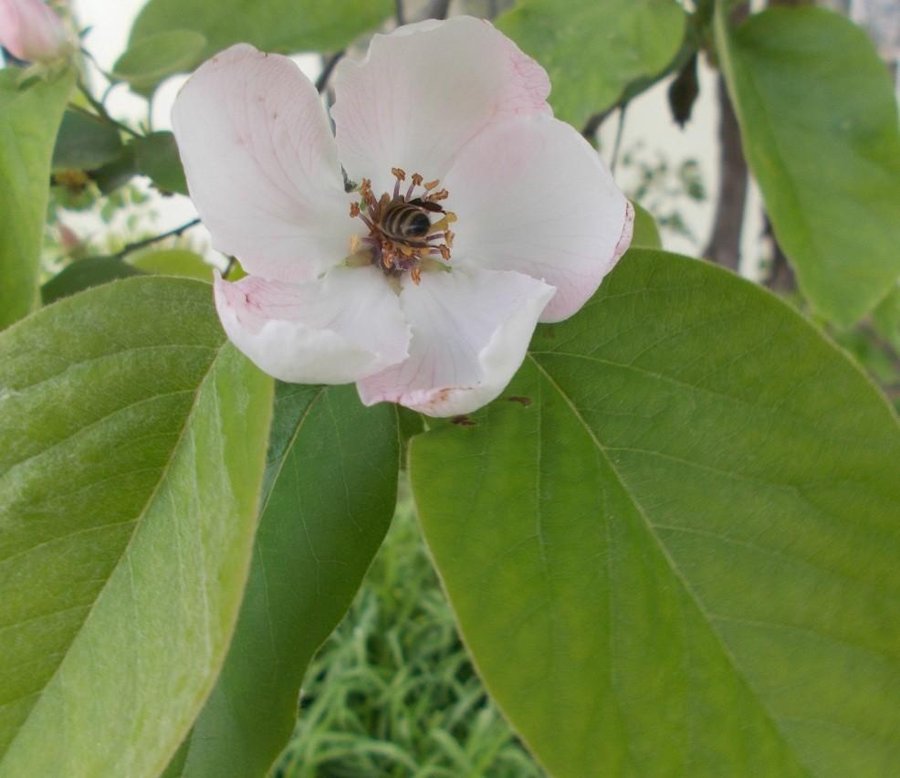 floare gutui primavara