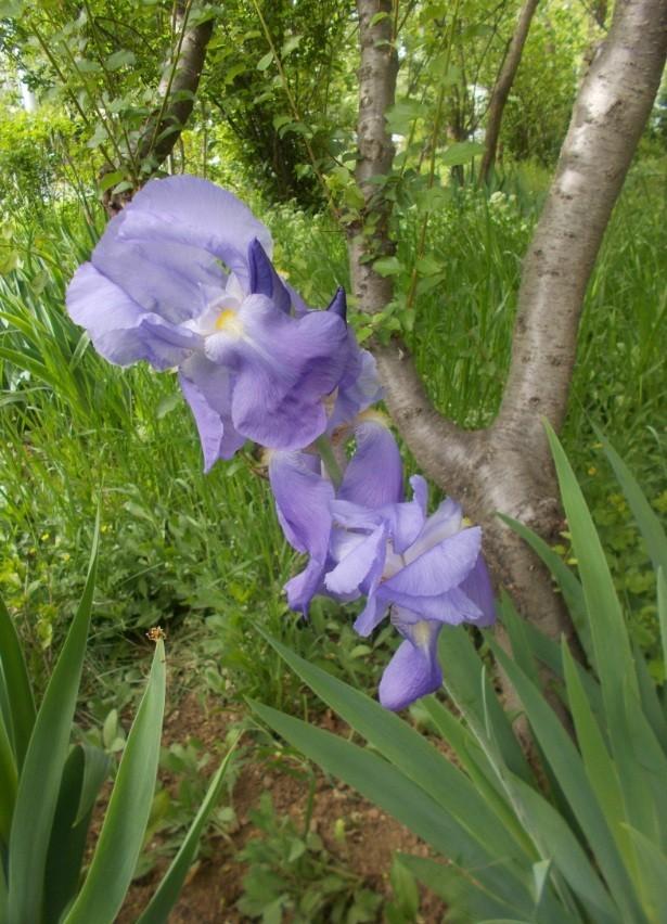 floare iris primavara